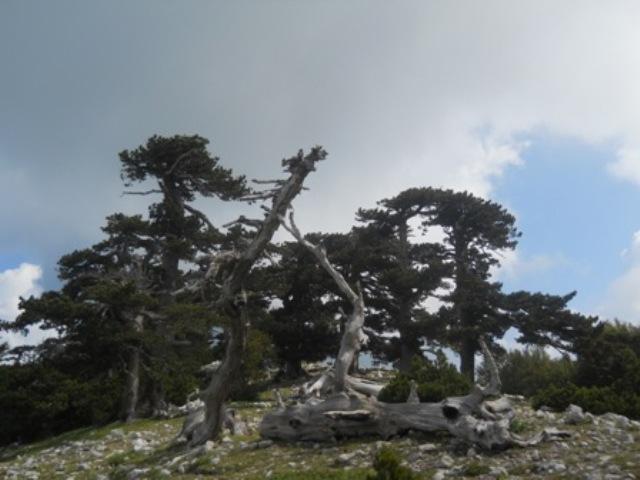 Secolari pini loricati