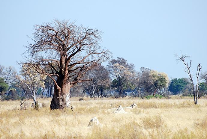 Viaggio in Africa: Baobab