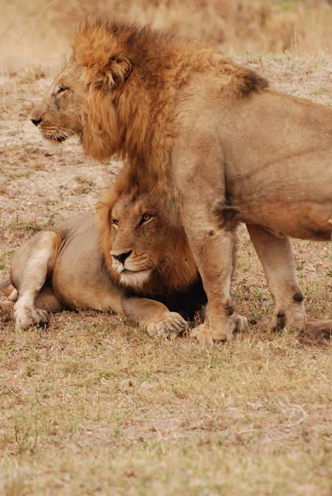 Viaggio in Africa: leoni