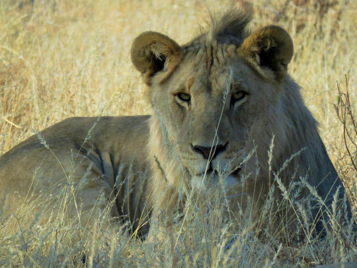Viaggio in Namibia Leone